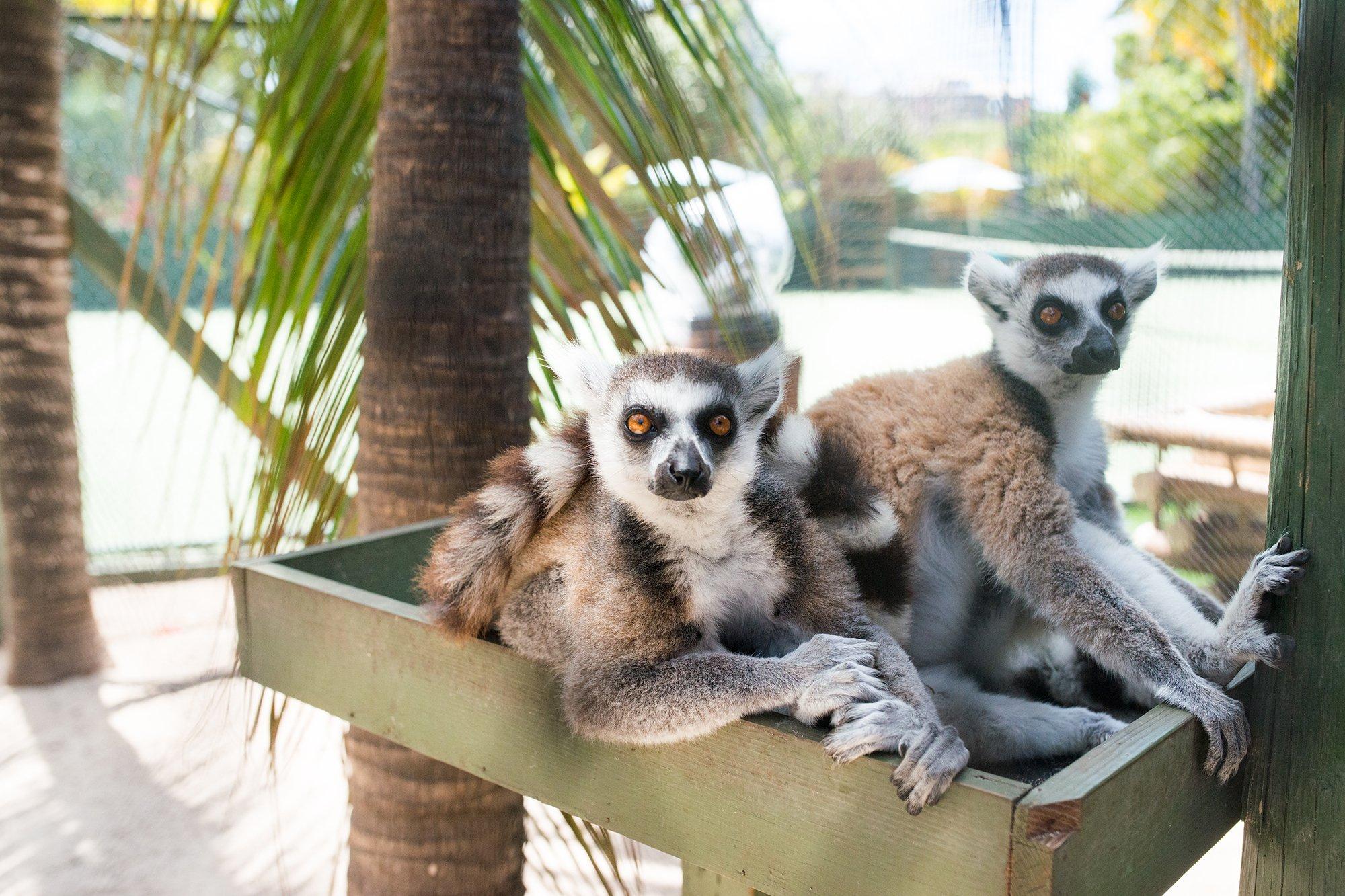 Necker-island-lemurs